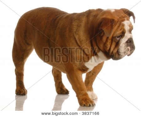 red brindle english bulldog walking isolated on white background poster