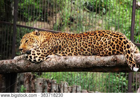 An African Leopard Lies On A Tree In A Zoo. A Leopard In Captivity. Sleeping Leopard.