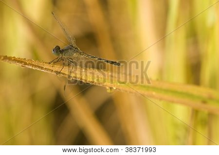 Close-up Of Dragonfly Laying On Ear Of Rice
