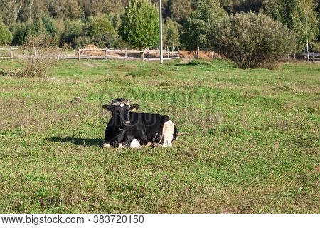 A Cow Grazes On A Farm In The Village. A Cow Eats Grass To Give Milk. Calves Are Bred For Meat. Live