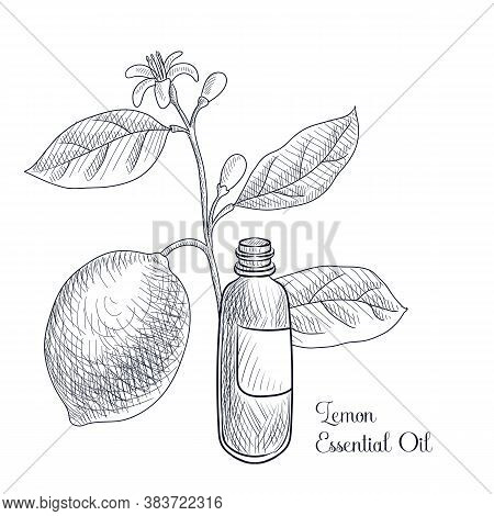 Vector Drawing Lemon Essential Oil, Citrus Limon, Hand Drawn Illustration