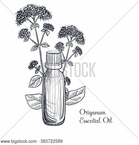 Vector Drawing Origano Essential Oil, Origanum Vulgare, Hand Drawn Illustration