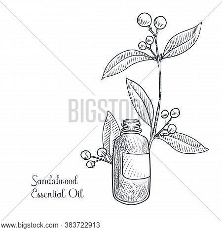 Vector Drawing Sandalwood Essential Oil, Santalum Album , Hand Drawn Illustration