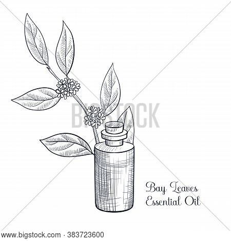 Vector Drawing Bay Leaves Essential Oil, Laurus Nobilis, , Hand Drawn Illustration
