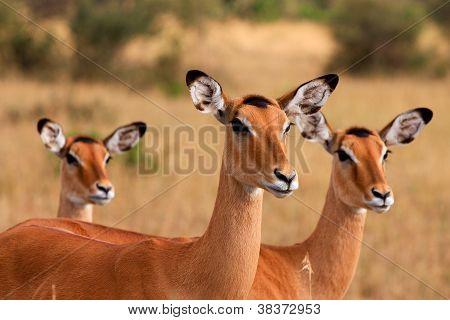 Impalas in Masai Mara, Kenia