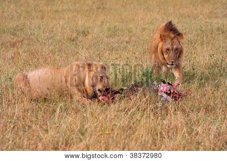 Lion and lioness feeding