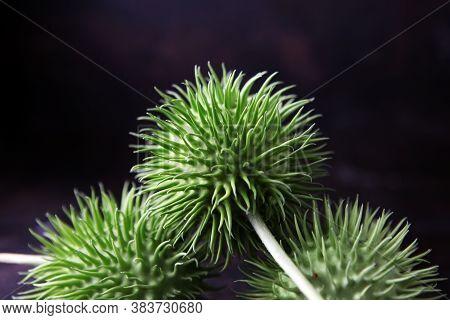 Cucumis Africanus. Wild Cucumber Looks Like Prickly Greenish Cucumbers. Wild Cucumber Echinocystis L