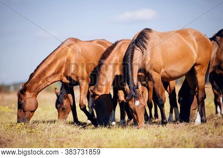 A Herd Of Sporting Horses Grazing On The Field. A Herd Of Red Sports Horses. Rural Landscape.