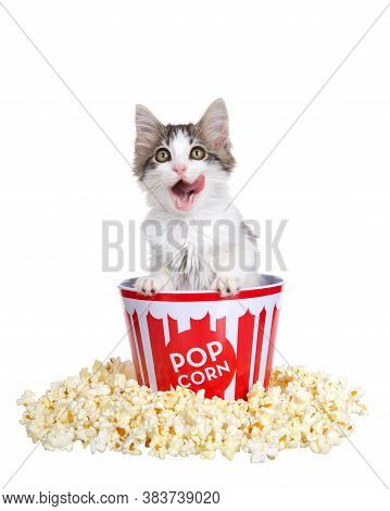Adorable Gray And White Kitten Popping Out Of A Popcorn Bucket Licking His Face. Freshly Popped Popc