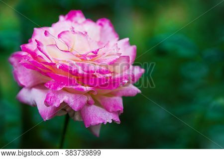 Photo Of A Single Flower Of The Pascal Sevran Rose In The Garden Over Green Blurred Background. Flow