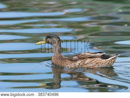 Female Mallard Duck, Anas Platyrhynchos, Swimming In Calm Reflective Water In A Small Pond.