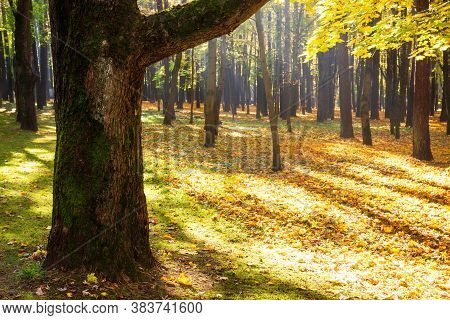 Autumn Forest. Sunbeams. Beautiful Scenery Of Sunny Day In Autumn Forest. Dark Trunks Of Trees.