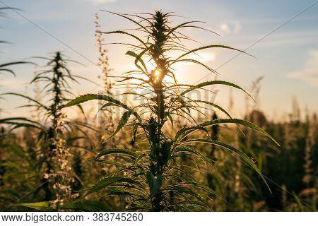 Cannabis Or Hemp Plants Growing On Field. Sun Shining Through Marijuana Leaves. Marijuana For Cannab