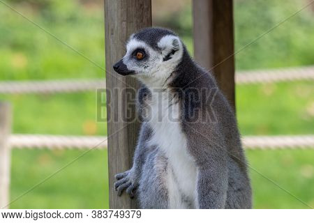 Close Up Of A Ring Tailed Lemur (lemur Catta) In A Zoo.