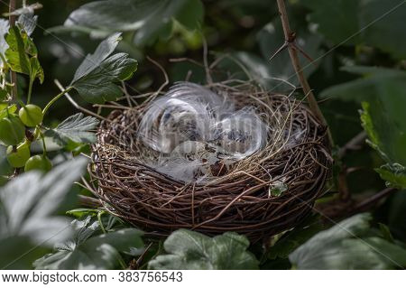 Little Bird Eggs In A Nest In A Tree,