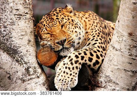 An African Leopard Lies On A Tree In A Zoo. Big Spotted Cat.. A Leopard In Captivity. Sleeping Leopa