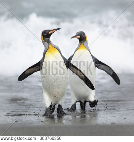 Two Penguins Walking On The Seashore In Antarctica