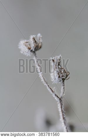 Herbs And Dried Flowers In The Frost. Frost On The Grass.winter Beautiful Natural Plant Background