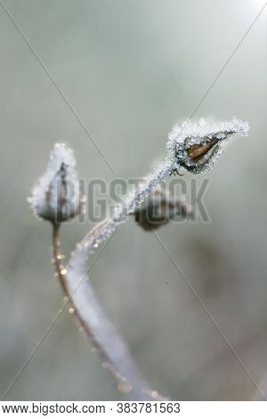 Herbs And Dried Flowers In The Frost. Frost On The Grass.winter Beautiful Natural Plant Background I