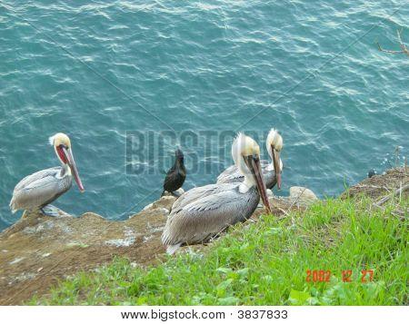 pelicans at La Jolla Califronia at the