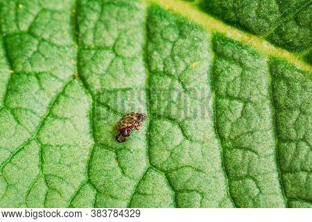Dermacentor Reticulatus On Green Leaf. Also Known As The Ornate Cow Tick, Ornate Dog Tick, Meadow Ti