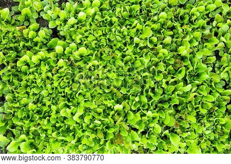 Green Lettuce Leaves. Fresh, Young And Tender Lettuce Leaves Grow In The Garden. A Solid Green Carpe