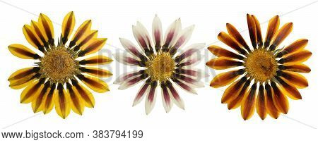 Pressed And Dried Flowers Gazania Isolated On White Background. For Use In Scrapbooking, Floristry O
