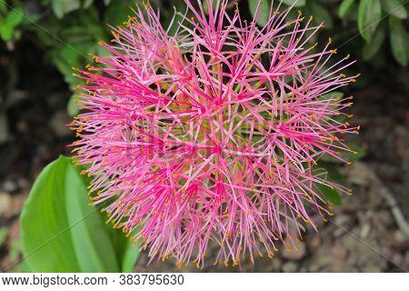 Beautyfull Flower,flower Like Covid 19 Coronavirus Flower