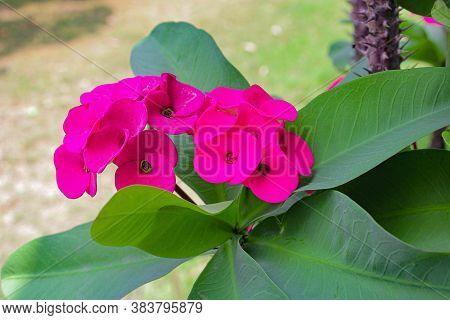 Thorn Flower Special Growing In Garden Beautyfull Pink Flower Image