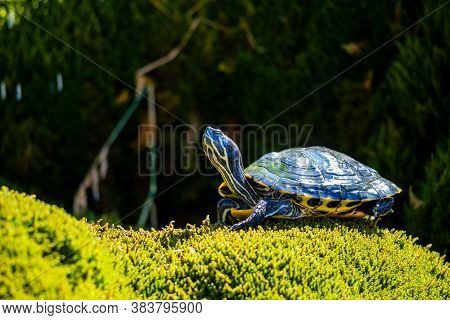 A Pet Turtle With A Detail View.