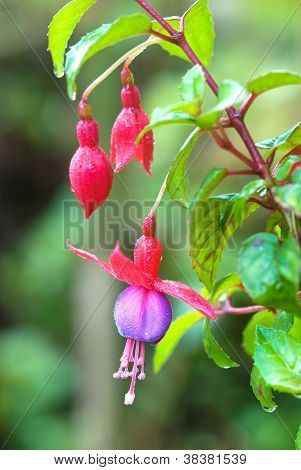 Red Fuchsia Or Lady's Eardrops Flower