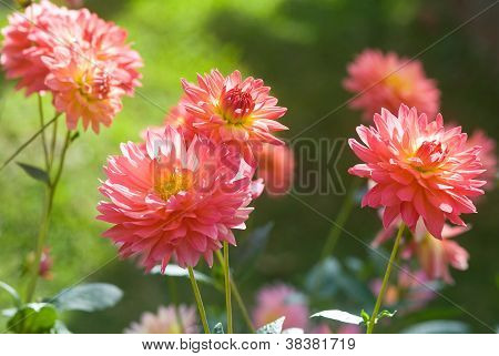Pattern Of Orange Dahlia Flower