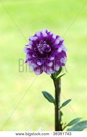Violet Dahlia Flower