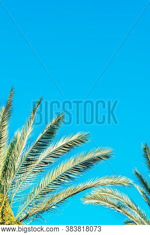 Green Palm Tree Against Blue Sky And Dates New Green Fruit. Jews Eat New Fruits On Rosh Hashanah Dat