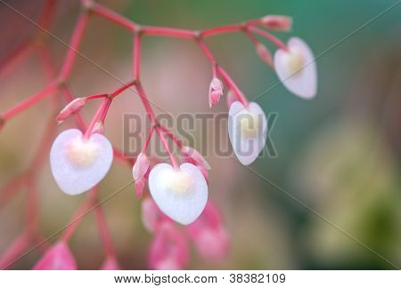 Heart Shape And Sweet Pink Color Of Begonia Flower Like A Sign Of Love