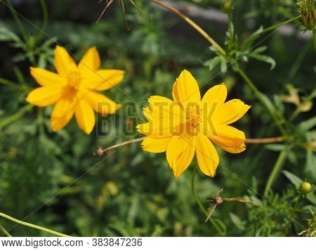 Mexican Aster, Compositae , Cosmos Bipinnatus Yellow Flower Blooming In Garden On Nature Baclground
