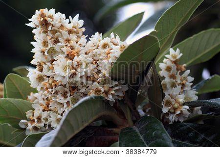 N�spero flowers