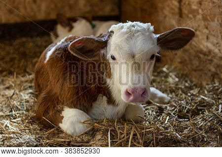 A Young Beautiful Calf Lies On The Hay In The Stall.