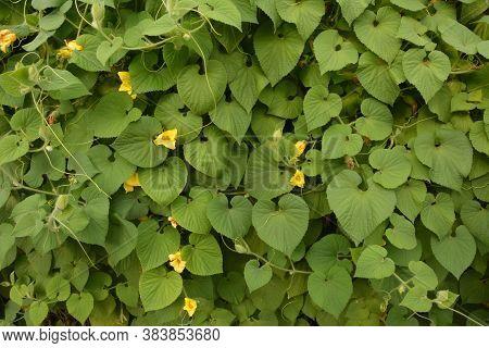 Goldencreeper (thladiantha Dubia) In Garden.flowering Thladiantha Dubia Or Manchu Tubergourd.
