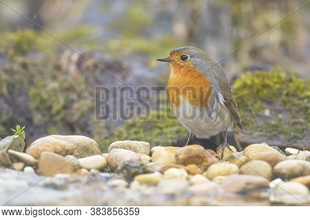 Larrabetzu, Bizkaia/spain; Mar. 09, 2020. Rainny Day In The Field.a European Robin (erithacus Rubeco