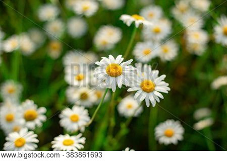 Glade Of White Chamomile Flowers Close Up Top View