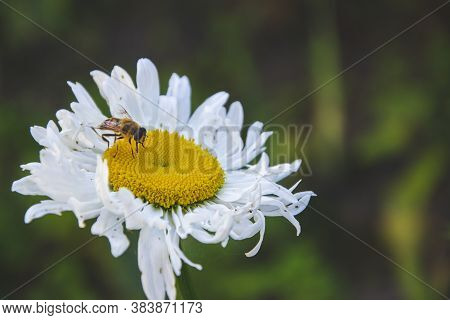 Close Up Picture Of White Camomile With Yellow Middle And Bee On The Top. Herb On Green Background I