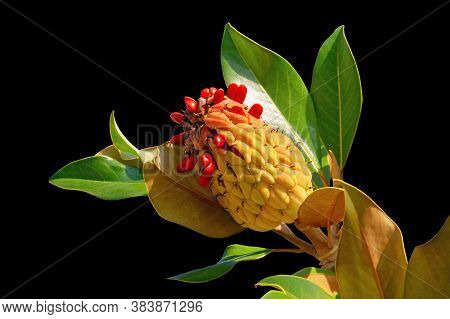 Branch Of A Southen Magnolia Tree  ( Magnolia Grandiflora ) With Leaves, Fruit And Seeds Isolated On
