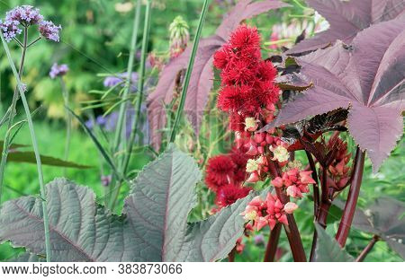Red Prickly Fruits Of The Castor Oil Plant Or Ricinus Communis From Which Medical Castor Oil Is Prod