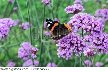 Monarch Butterfly On Lilac Verbena Flowers In The Summer Garden.