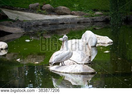 Pelican Bird At Summer Day. Wild Bird