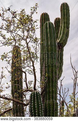 Baja California Sur, Mexico - November 23, 2008: Dry Forests Of Sierra De La Laguna. Top Of Giant El