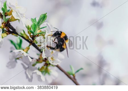 Bumblebee Sits On A Branch Of A Blossoming Tree Against The Sky. White Cherry Flowers. Green Leaves