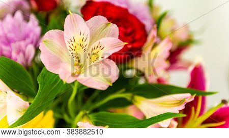 Close Up Shot Of A Beautiful Peruvian Lily Flower Over A Bouquet Of Colorful Flowers, Great Backgrou