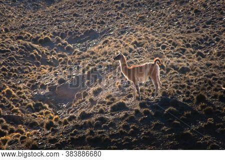 Young Guanaco (lama Guanicoe) Spotted In The Steppes Of Villavicencio Natural Reserve, In Mendoza, A